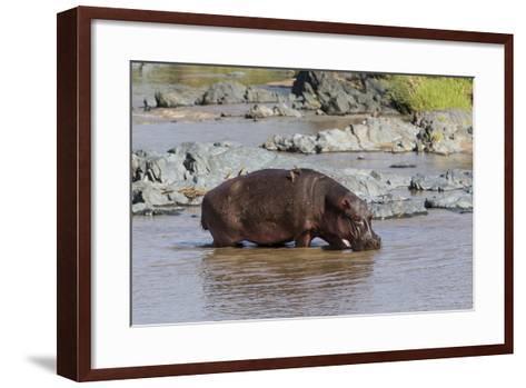 Four Oxpecker Birds Perch on Back of Hippo, Landscape View-James Heupel-Framed Art Print