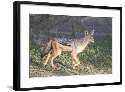 Black-Backed Jackal Walks Through the Jungle, Ngorongoro, Tanzania-James Heupel-Framed Art Print
