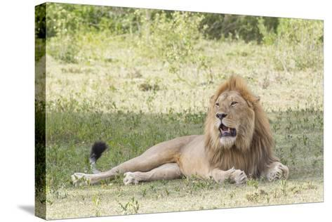 Adult Male Lion Lies on Shaded Grass, Ngorongoro, Tanzania-James Heupel-Stretched Canvas Print