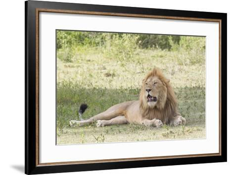 Adult Male Lion Lies on Shaded Grass, Ngorongoro, Tanzania-James Heupel-Framed Art Print