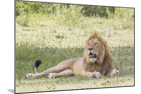 Adult Male Lion Lies on Shaded Grass, Ngorongoro, Tanzania-James Heupel-Mounted Photographic Print