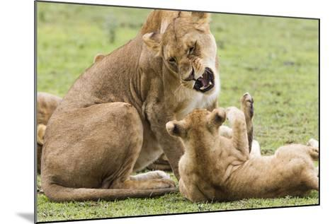 Sitting Lioness Snarling at Reclining Cub, Ngorongoro, Tanzania-James Heupel-Mounted Photographic Print
