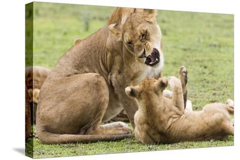 Sitting Lioness Snarling at Reclining Cub, Ngorongoro, Tanzania-James Heupel-Stretched Canvas Print