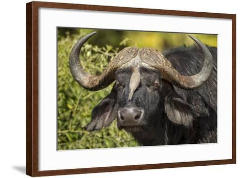 Botswana, Chobe NP, Red Billed Oxpecker on Nose of Cape Buffalo-Paul Souders-Framed Art Print