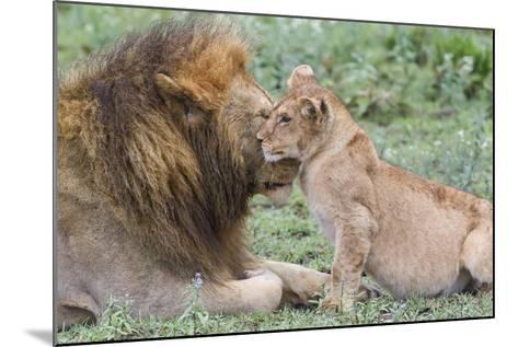 Female Cub Nuzzles Adult Male Lion, Ngorongoro, Tanzania-James Heupel-Mounted Photographic Print