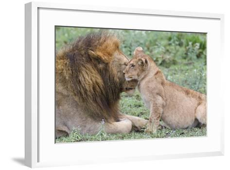 Female Cub Nuzzles Adult Male Lion, Ngorongoro, Tanzania-James Heupel-Framed Art Print