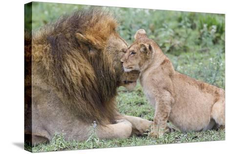 Female Cub Nuzzles Adult Male Lion, Ngorongoro, Tanzania-James Heupel-Stretched Canvas Print