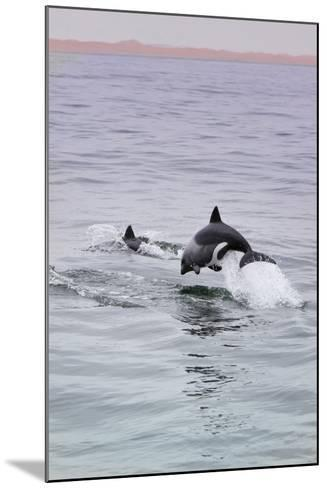 Walvis Bay, Namibia. Rare Pregnant Heaviside's Dolphin Breaching-Janet Muir-Mounted Photographic Print