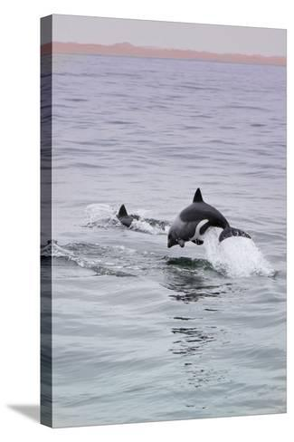 Walvis Bay, Namibia. Rare Pregnant Heaviside's Dolphin Breaching-Janet Muir-Stretched Canvas Print