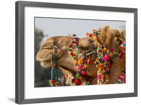 Camels Decorated for a Desert Festival. Jaisalmer. Rajasthan. India-Tom Norring-Framed Art Print