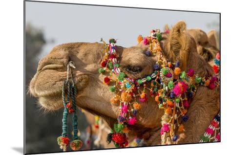 Camels Decorated for a Desert Festival. Jaisalmer. Rajasthan. India-Tom Norring-Mounted Photographic Print