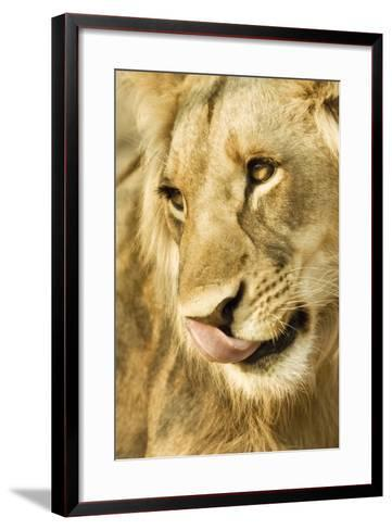 Livingston, Zambia. Close-up of a Male Lion Licking His Nose-Janet Muir-Framed Art Print