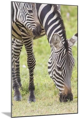 Adult Female Zebra Grazing with Her Colt, Ngorongoro, Tanzania-James Heupel-Mounted Photographic Print
