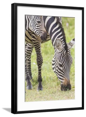 Adult Female Zebra Grazing with Her Colt, Ngorongoro, Tanzania-James Heupel-Framed Art Print