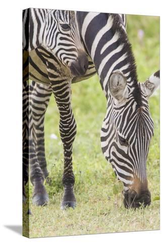 Adult Female Zebra Grazing with Her Colt, Ngorongoro, Tanzania-James Heupel-Stretched Canvas Print