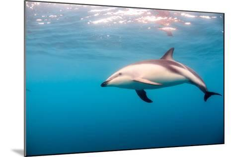 A Dusky Dolphin Swimming, South Island, New Zealand-James White-Mounted Photographic Print