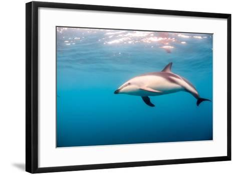 A Dusky Dolphin Swimming, South Island, New Zealand-James White-Framed Art Print