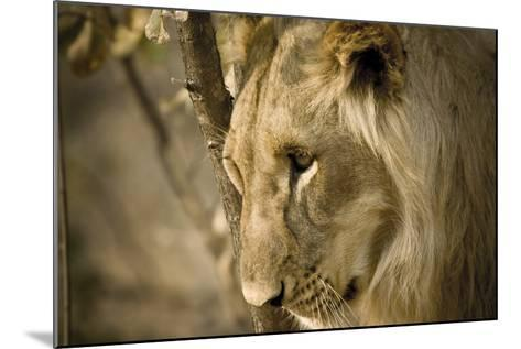 Livingstone, Zambia. Pensive Look of a Young Male Lion-Janet Muir-Mounted Photographic Print