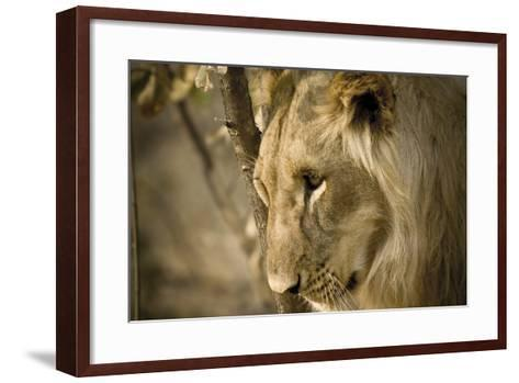 Livingstone, Zambia. Pensive Look of a Young Male Lion-Janet Muir-Framed Art Print
