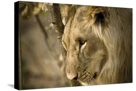 Livingstone, Zambia. Pensive Look of a Young Male Lion-Janet Muir-Stretched Canvas Print