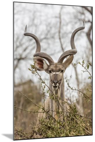 South Londolozi Private Game Reserve. Adult Greater Kudu-Fred Lord-Mounted Photographic Print