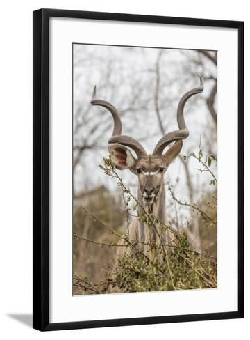 South Londolozi Private Game Reserve. Adult Greater Kudu-Fred Lord-Framed Art Print