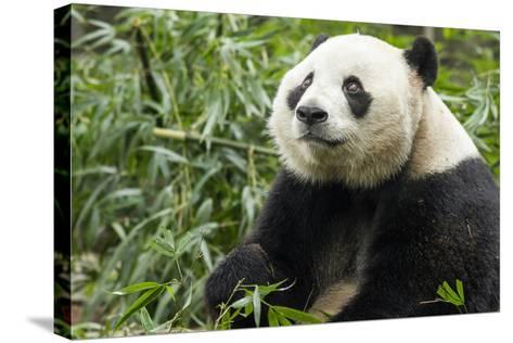 China, Sichuan, Chengdu, Giant Panda Bear Feeding on Bamboo Shoots-Paul Souders-Stretched Canvas Print