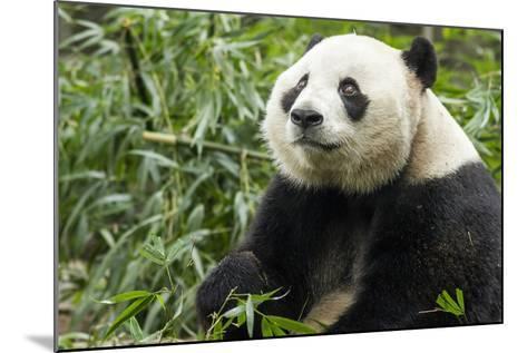 China, Sichuan, Chengdu, Giant Panda Bear Feeding on Bamboo Shoots-Paul Souders-Mounted Photographic Print