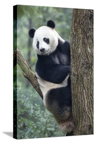China, Sichuan, Chengdu, Giant Panda Bear at Chengdu Research Base-Paul Souders-Stretched Canvas Print