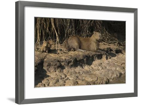 Capybara, Northern Pantanal, Mato Grosso, Brazil-Pete Oxford-Framed Art Print