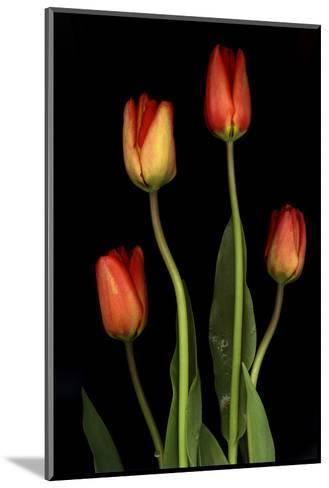 Tulips on Black Background-Anna Miller-Mounted Photographic Print