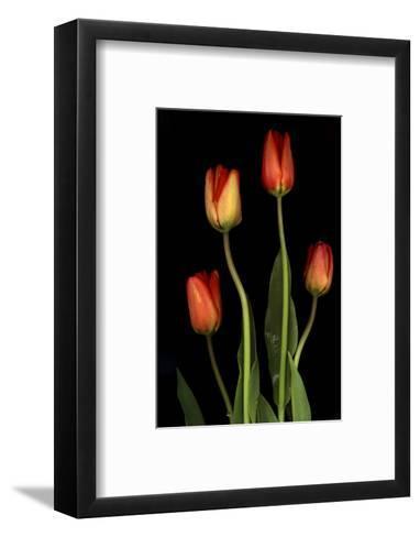 Tulips on Black Background-Anna Miller-Framed Art Print
