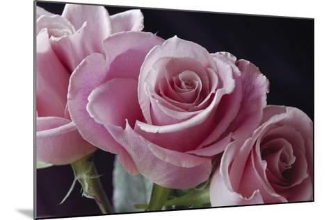Pink Roses-Anna Miller-Mounted Photographic Print