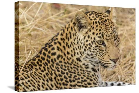 South Ngala Private Game Reserve. Close-up of Adult Leopard-Fred Lord-Stretched Canvas Print