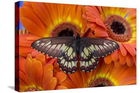 Butterfly Eurytides Corethus in the Papilionidae Family-Darrell Gulin-Stretched Canvas Print