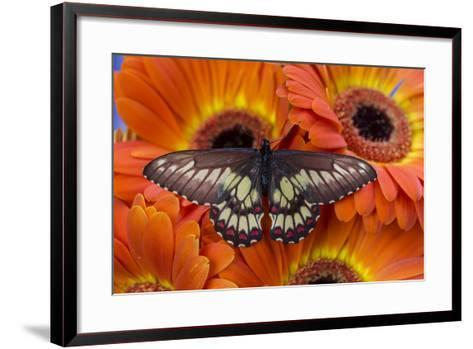 Butterfly Eurytides Corethus in the Papilionidae Family-Darrell Gulin-Framed Art Print