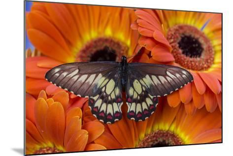 Butterfly Eurytides Corethus in the Papilionidae Family-Darrell Gulin-Mounted Photographic Print