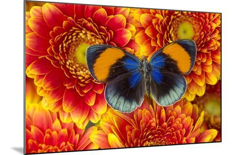 The Star Sapphire Butterfly, Callithea Sapphira-Darrell Gulin-Mounted Photographic Print