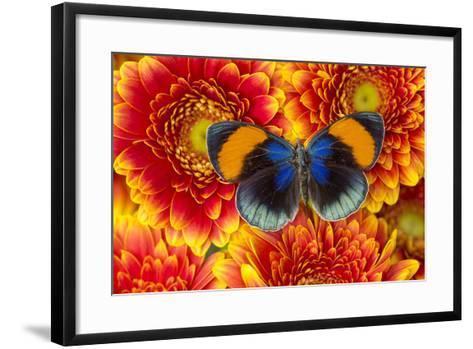 The Star Sapphire Butterfly, Callithea Sapphira-Darrell Gulin-Framed Art Print