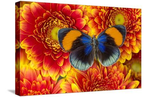 The Star Sapphire Butterfly, Callithea Sapphira-Darrell Gulin-Stretched Canvas Print