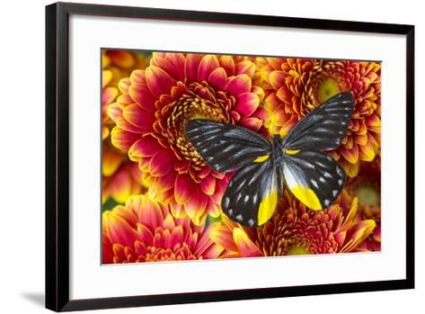 Jezebels Butterfly, Delias Species in the Pieridae Family-Darrell Gulin-Framed Art Print
