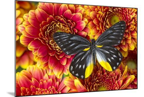 Jezebels Butterfly, Delias Species in the Pieridae Family-Darrell Gulin-Mounted Photographic Print