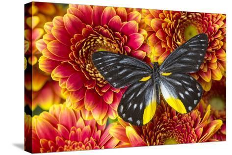Jezebels Butterfly, Delias Species in the Pieridae Family-Darrell Gulin-Stretched Canvas Print