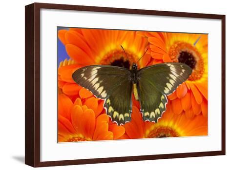 Madyes Swallowtail Butterfly, Battus Madyes Buechi Wings Open-Darrell Gulin-Framed Art Print