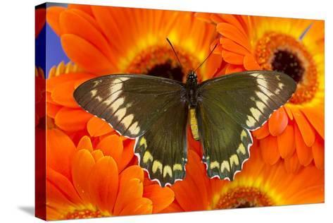 Madyes Swallowtail Butterfly, Battus Madyes Buechi Wings Open-Darrell Gulin-Stretched Canvas Print