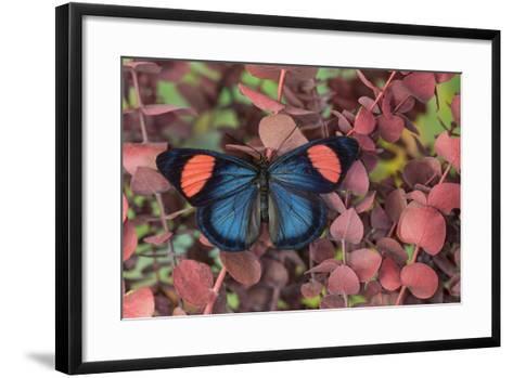 Painted Beauty Butterfly from the Amazon Region, Batesia Hypochlora-Darrell Gulin-Framed Art Print