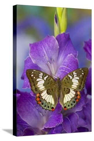 Butterfly Female Euthalia Adonia in the Nymphalidae Family-Darrell Gulin-Stretched Canvas Print