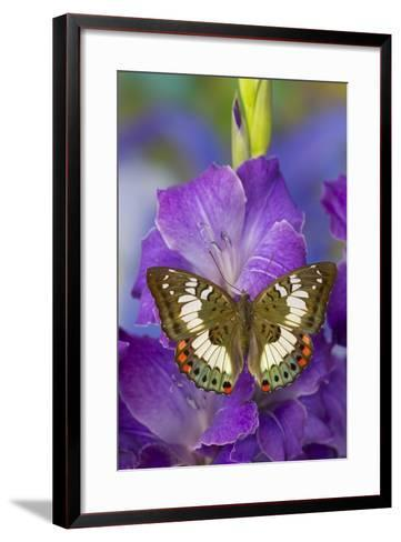 Butterfly Female Euthalia Adonia in the Nymphalidae Family-Darrell Gulin-Framed Art Print