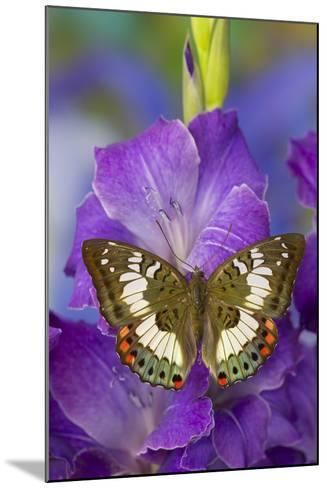 Butterfly Female Euthalia Adonia in the Nymphalidae Family-Darrell Gulin-Mounted Photographic Print