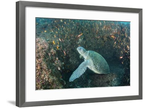 Green Sea Turtle, Aliwal Shoal, Umkomaas, KwaZulu-Natal, South Africa-Pete Oxford-Framed Art Print